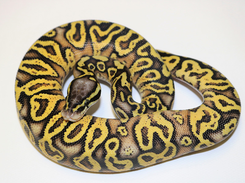 Super Pastel Trick Yellow Belly