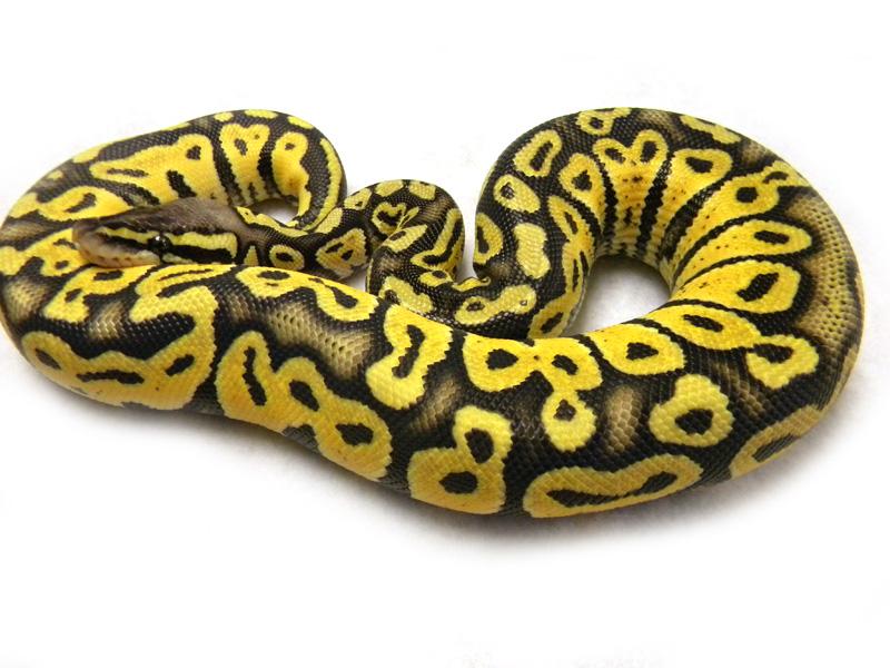 Pastel ball python - photo#24