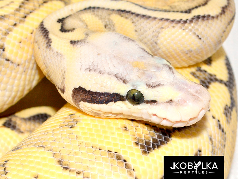 Superfly Yellow Belly Ghi