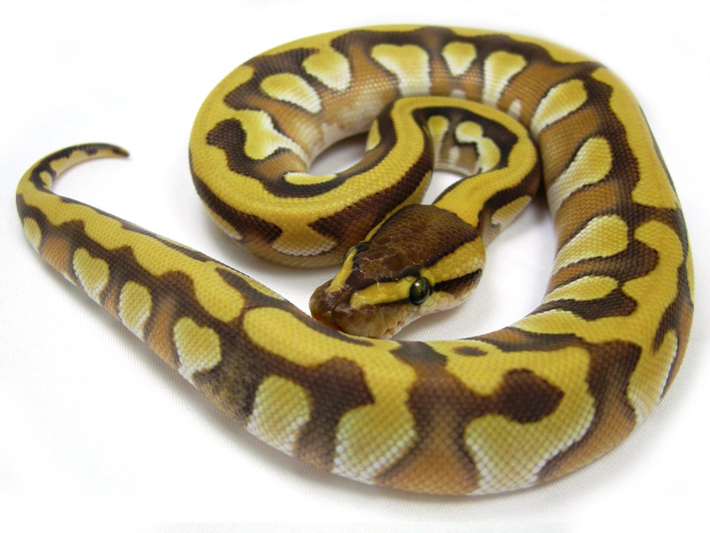 Tiger Mojave Yellow Belly