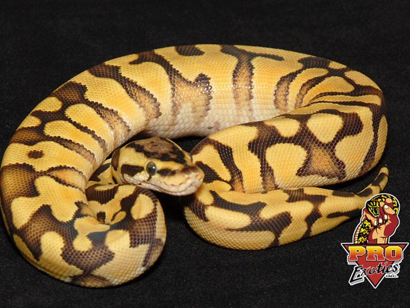 Pastel Ball Python Desert enchi pastel