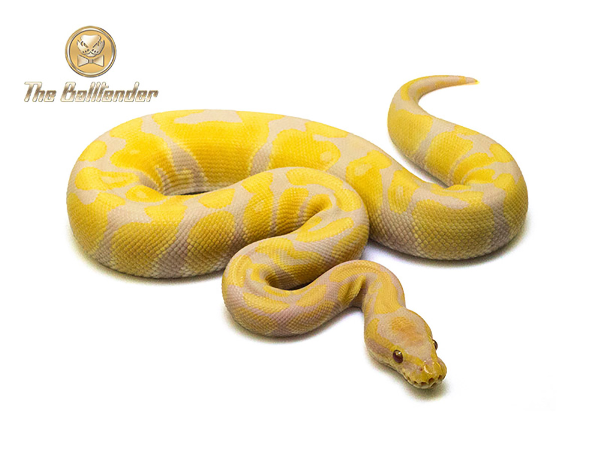 Toffee - Morph List - World of Ball Pythons