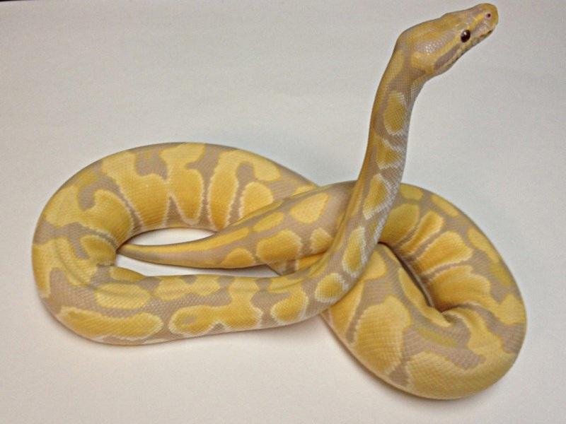 Toffino Morph List World Of Ball Pythons