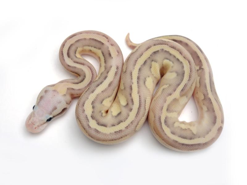 Vanilla Fire Lesser Pastel