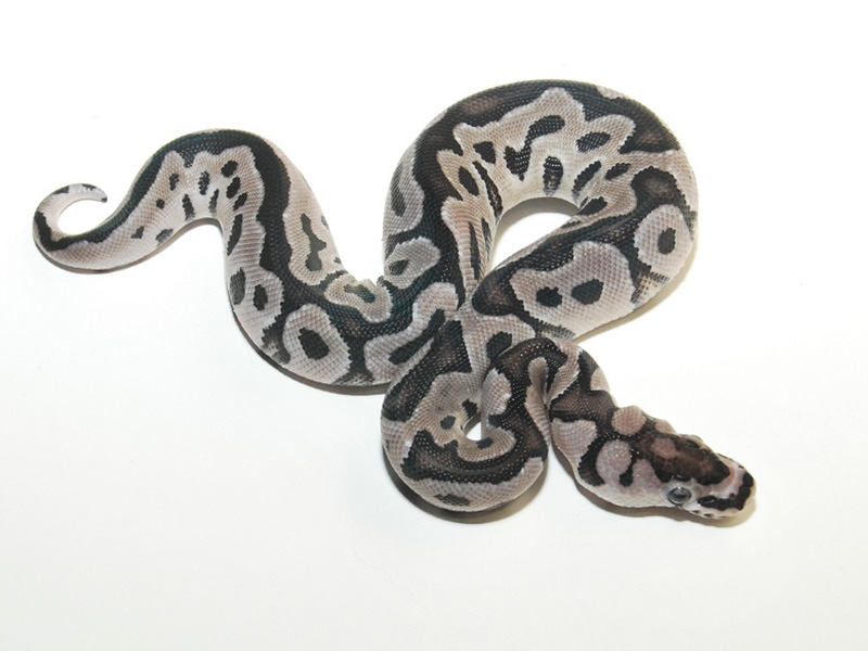 VPI Axanthic Clown - Morph List - World of Ball Pythons