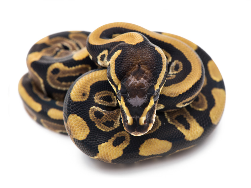 WHS line Scaleless Head
