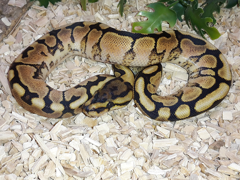 Woma Russo Het Leucistic Yellow Belly