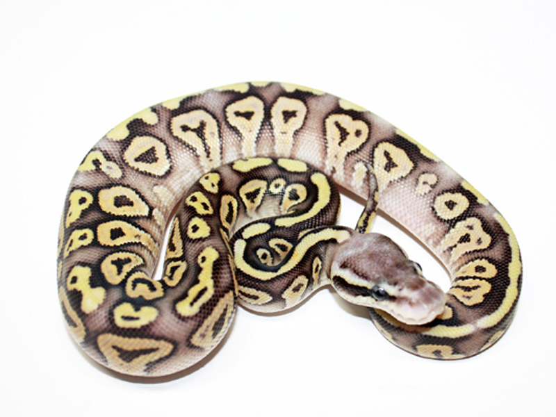 Pastel mystic ball python - photo#5