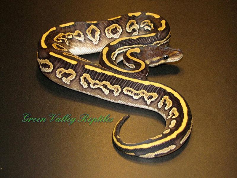 Yellow Belly Mojave Black Pastel (Barnhart Line)