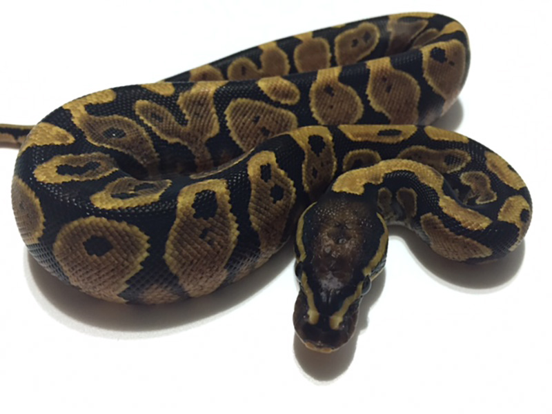 Yellow Belly WHS line Scaleless Head