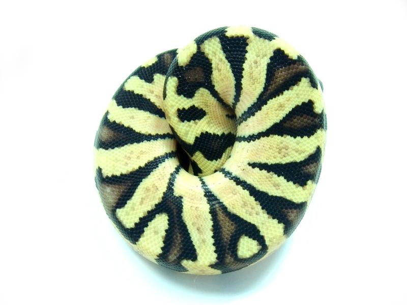 Zebra Pastel
