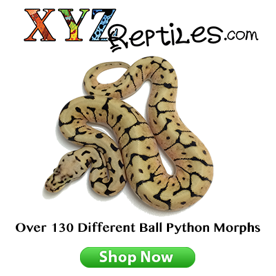 Ball pythons morphs for sale