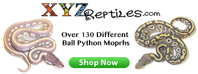 Ball pythons for sale